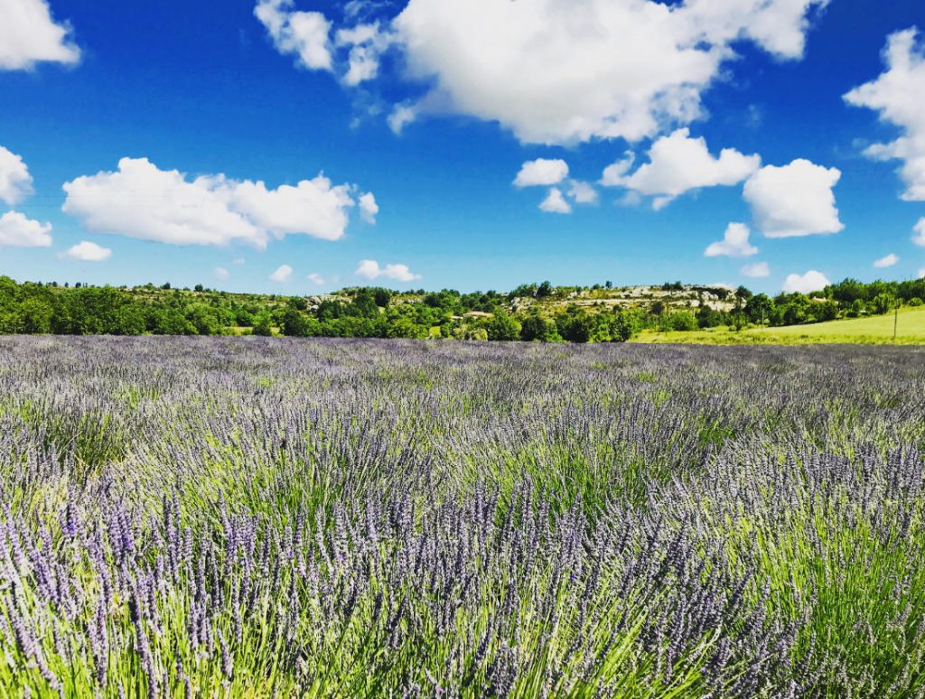 Lavendar field in Provence