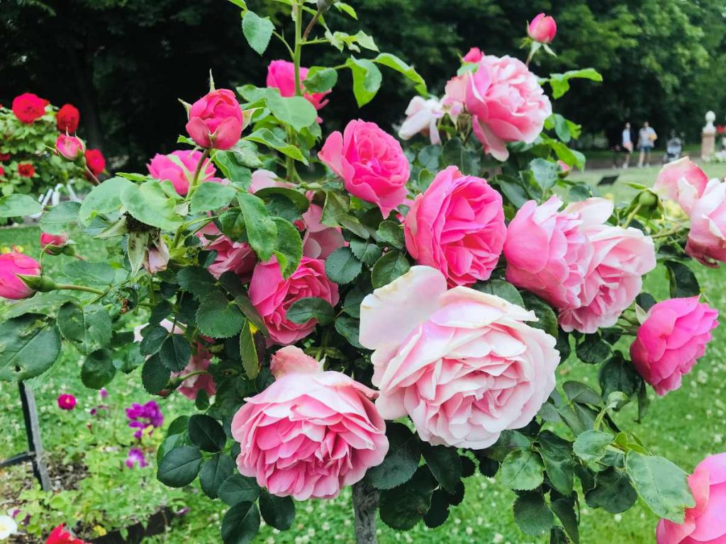 Roses in Provins, France