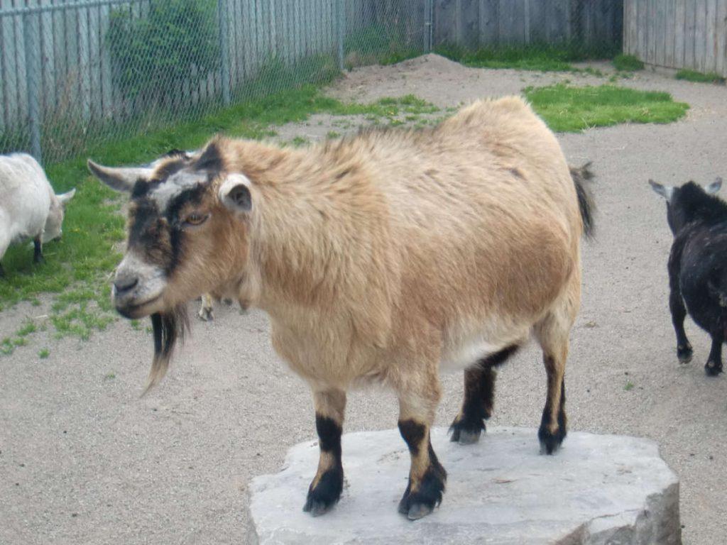 Goat at Jardin des Plantes